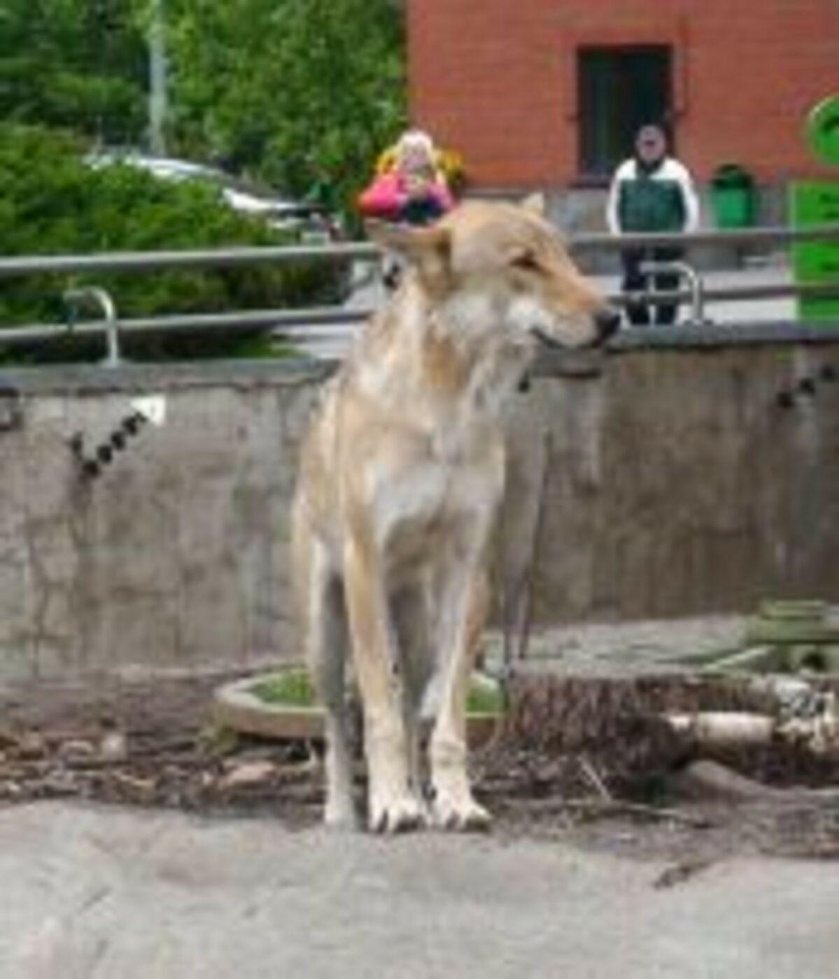 DSC05132 волк